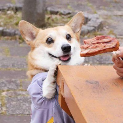 Gen, um cão da raça corgi, vem ganhando a internet com suas caras e bocas 22
