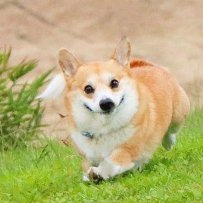 Gen, um cão da raça corgi, vem ganhando a internet com suas caras e bocas 21