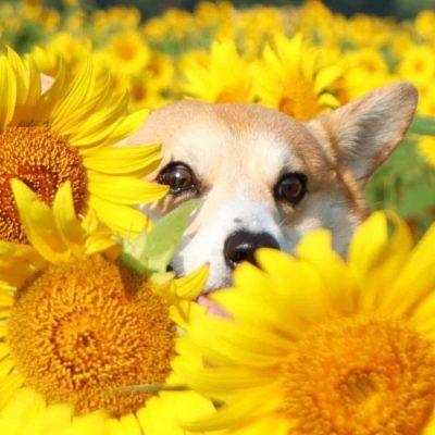 Gen, um cão da raça corgi, vem ganhando a internet com suas caras e bocas 20