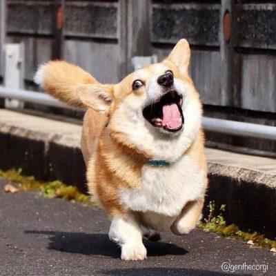 Gen, um cão da raça corgi, vem ganhando a internet com suas caras e bocas 6
