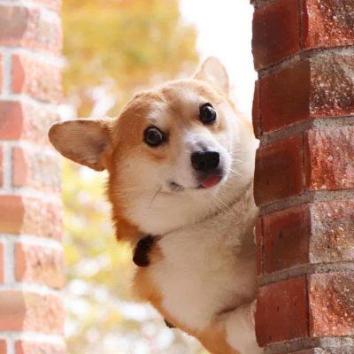 Gen, um cão da raça corgi, vem ganhando a internet com suas caras e bocas 4