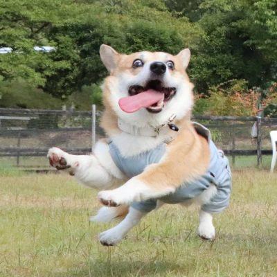 Gen, um cão da raça corgi, vem ganhando a internet com suas caras e bocas 16