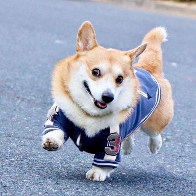 Gen, um cão da raça corgi, vem ganhando a internet com suas caras e bocas 14