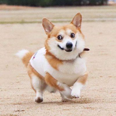 Gen, um cão da raça corgi, vem ganhando a internet com suas caras e bocas 13