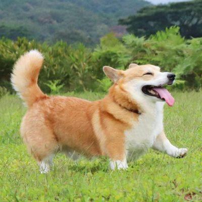 Gen, um cão da raça corgi, vem ganhando a internet com suas caras e bocas 11