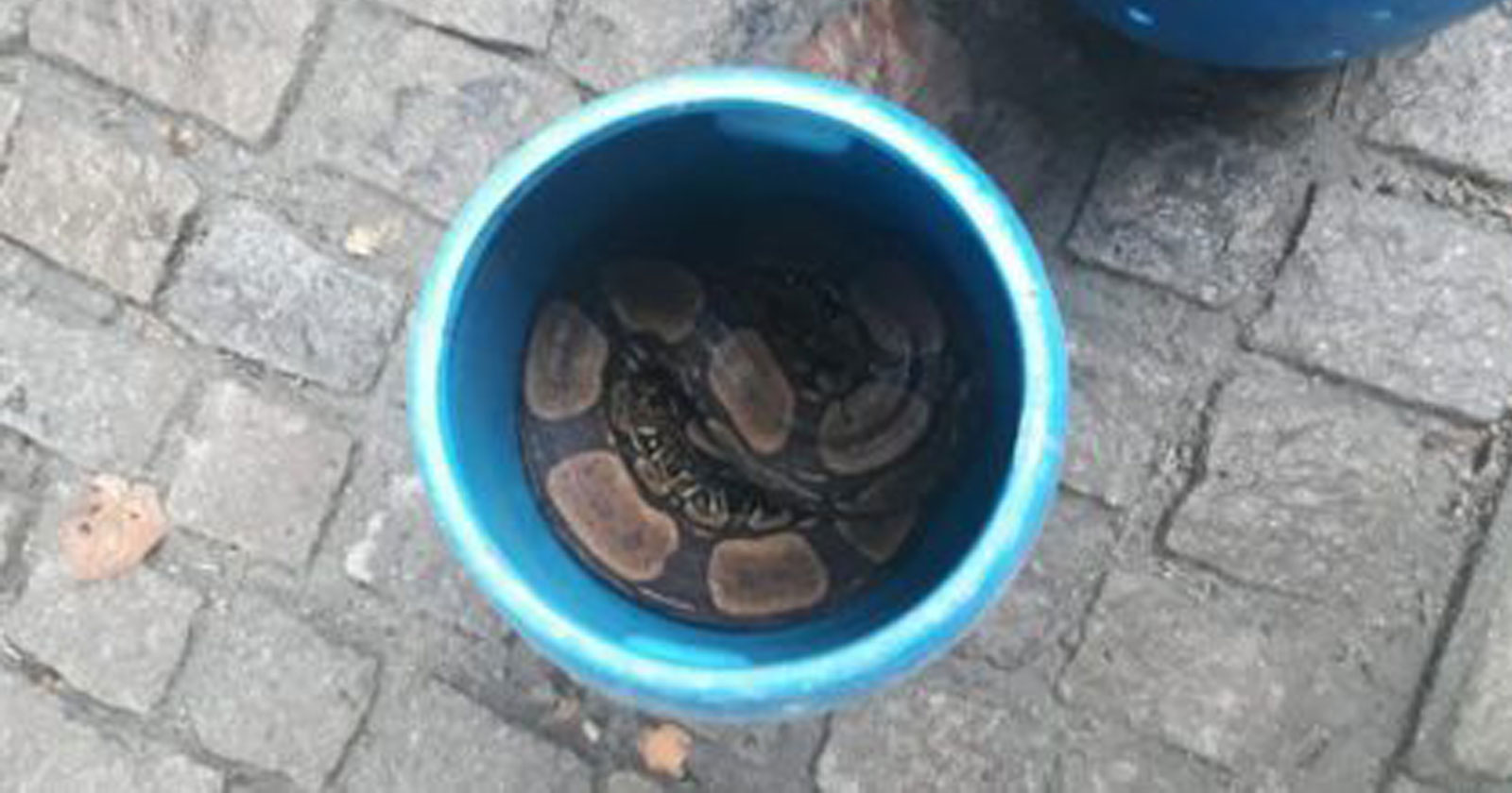 jibóia dentro balde azul