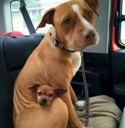 pit bull e chihuahua abraçados dentro carro