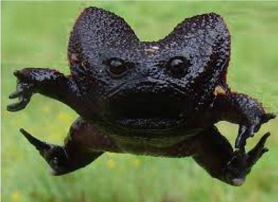 Conheça o Sapo Preto da Chuva, a espécie mais mal-humorada do mundo 4