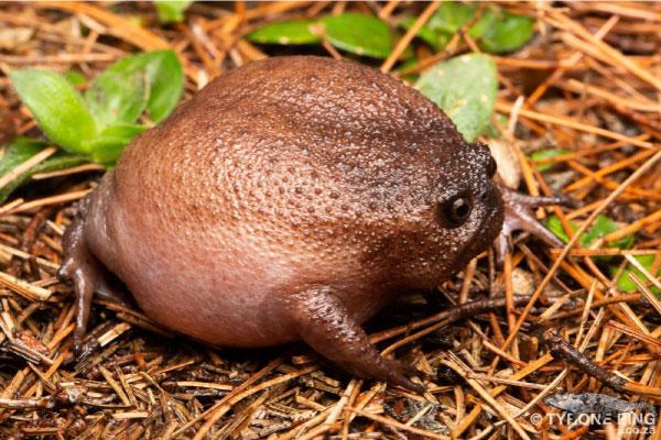 Conheça o Sapo Preto da Chuva, a espécie mais mal-humorada do mundo 5