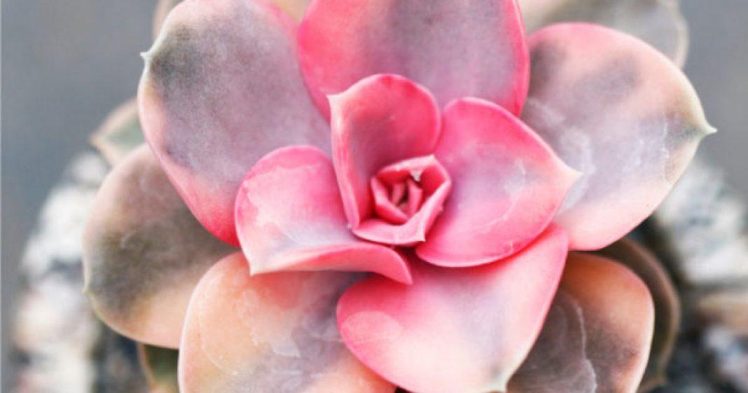 suculenta rosa