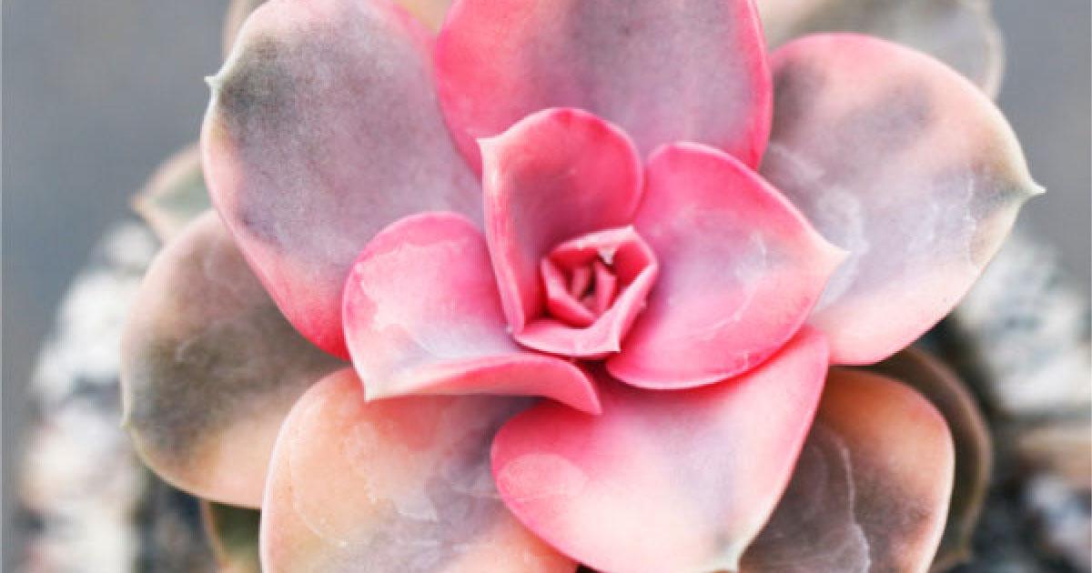 12 suculentas na cor rosa que você vai querer ter em casa 1