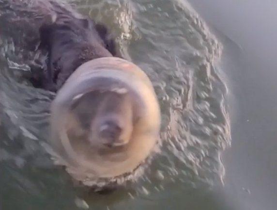 urso com plástico preso à cabeça em lago