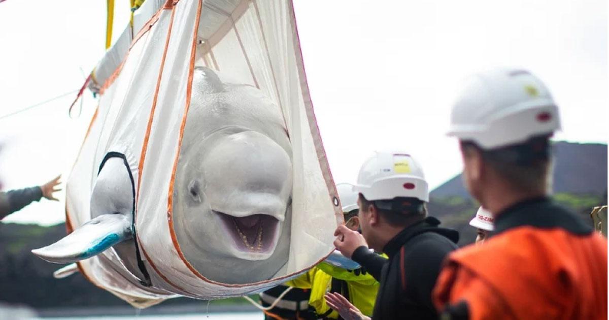 baleias beluga