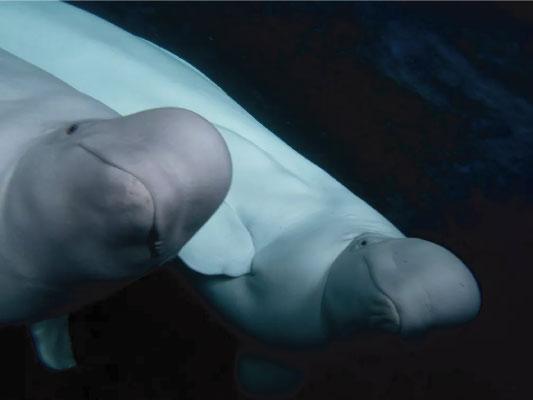 baleias beluga soltas