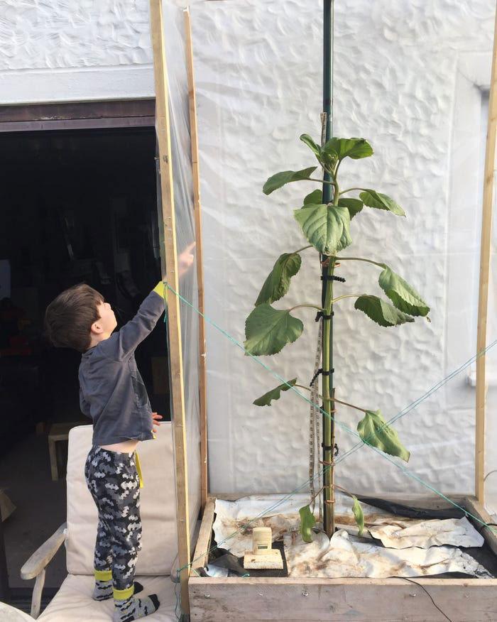 menino apontando pé girassol plantado em frente casa