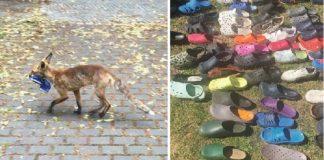 raposa rouba sapato