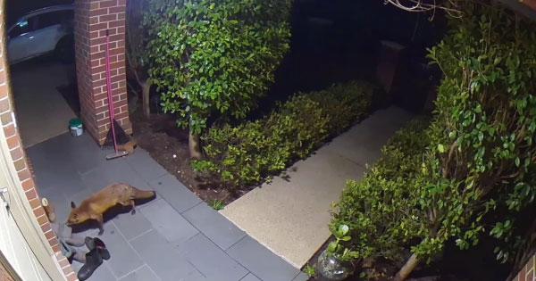 raposa roubando sapato