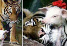tigresa adota porquinhos