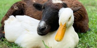 cabra e pato fazem amizade