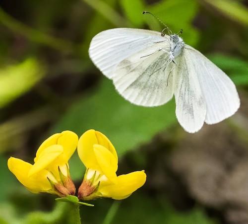 fotografo registra especies de borboletas 3
