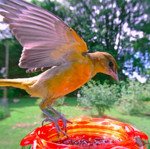 Mulher coloca câmera em comedouro de pássaros e registra 30 imagens impressionantes 3