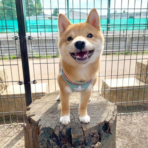 cachorro Maru