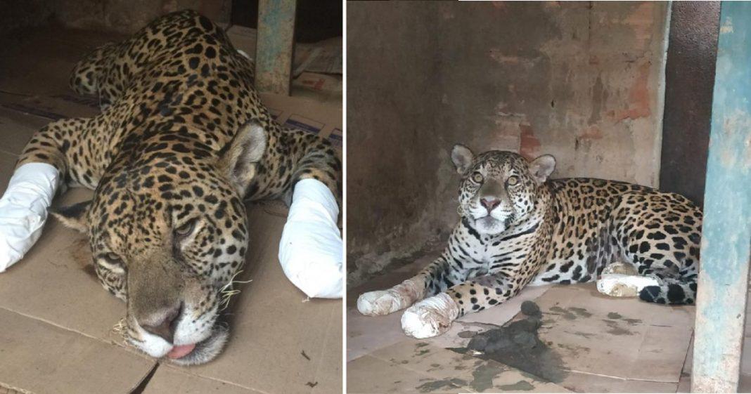 Onça-pintada ferida em incêndio no Pantanal volta a caminhar após tratamento com células-tronco 2