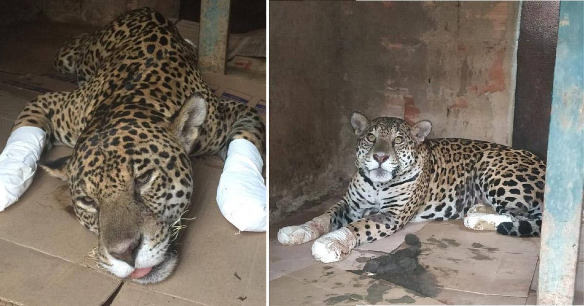 Onça-pintada ferida em incêndio no Pantanal volta a caminhar após tratamento com células-tronco 1