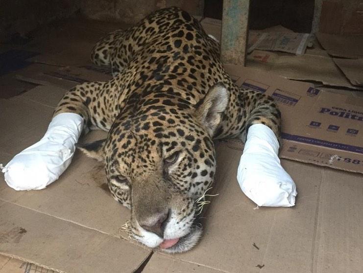 ONG faz campanha para salvar milhares de animais silvestres, vítimas de incêndios no Pantanal 3