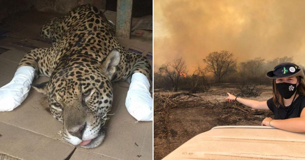 ONG faz campanha para salvar milhares de animais silvestres, vítimas de incêndios no Pantanal 7