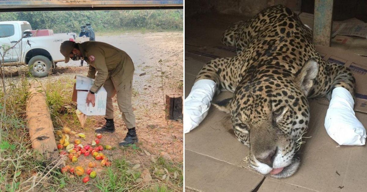 Voluntários realizam força-tarefa para distribuir alimentos e água para os animais do Pantanal 5