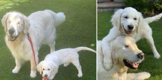 cachorro cego ganha cão-guia