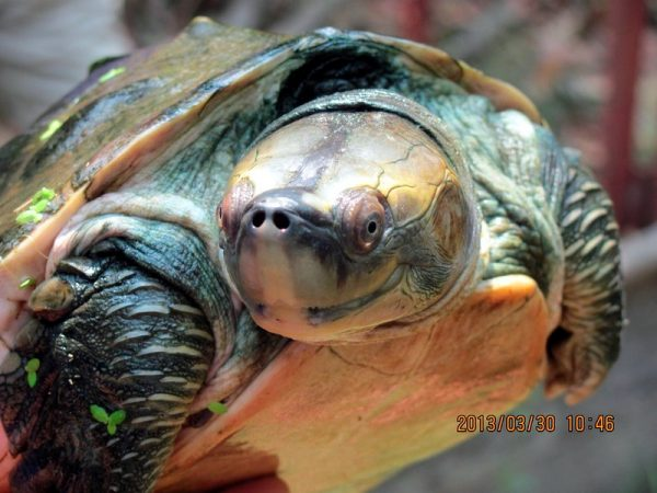 tartaruga sorridente