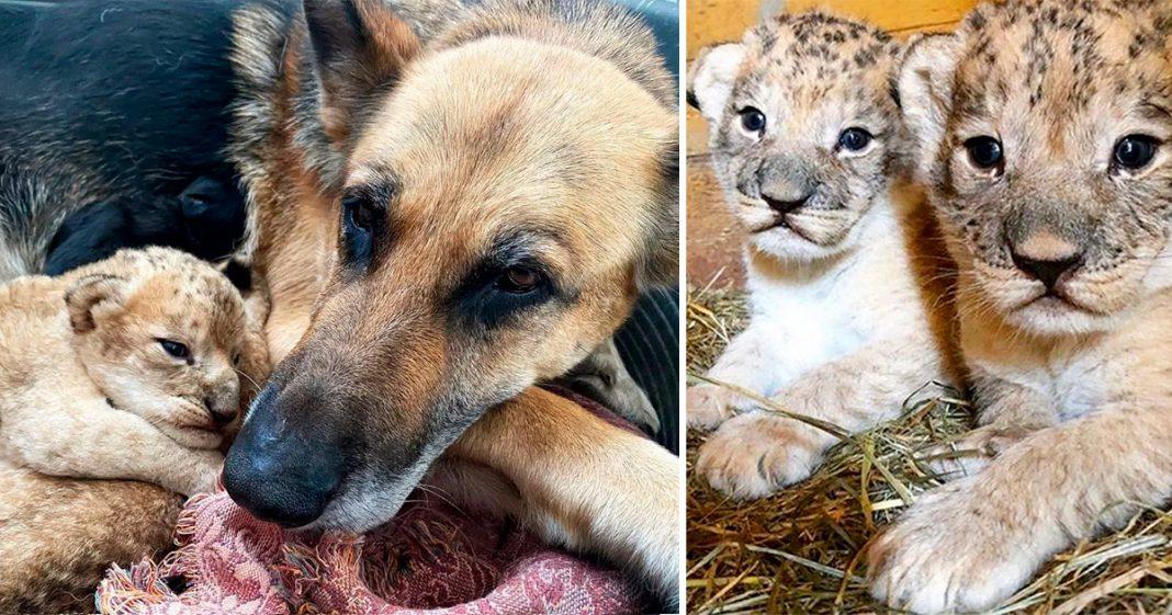 Cachorra adota e amamenta 2 filhotinhos de leão rejeitados pela mãe na Rússia 3