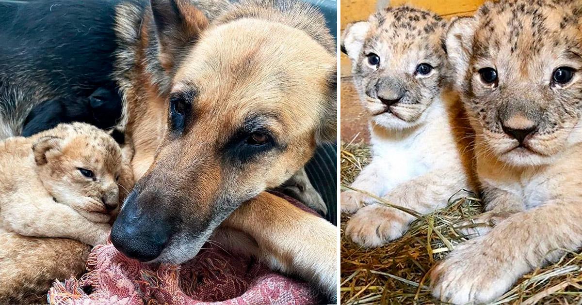 Cachorra adota e amamenta 2 filhotinhos de leão rejeitados pela mãe na Rússia 9