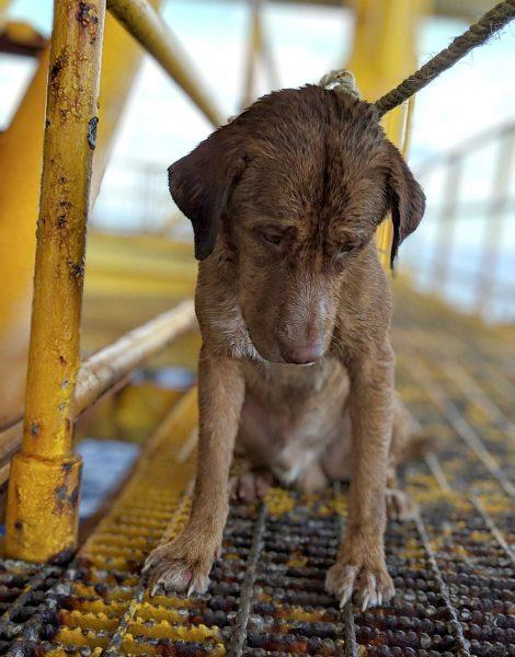 cão resgatado em plataforma de petróleo