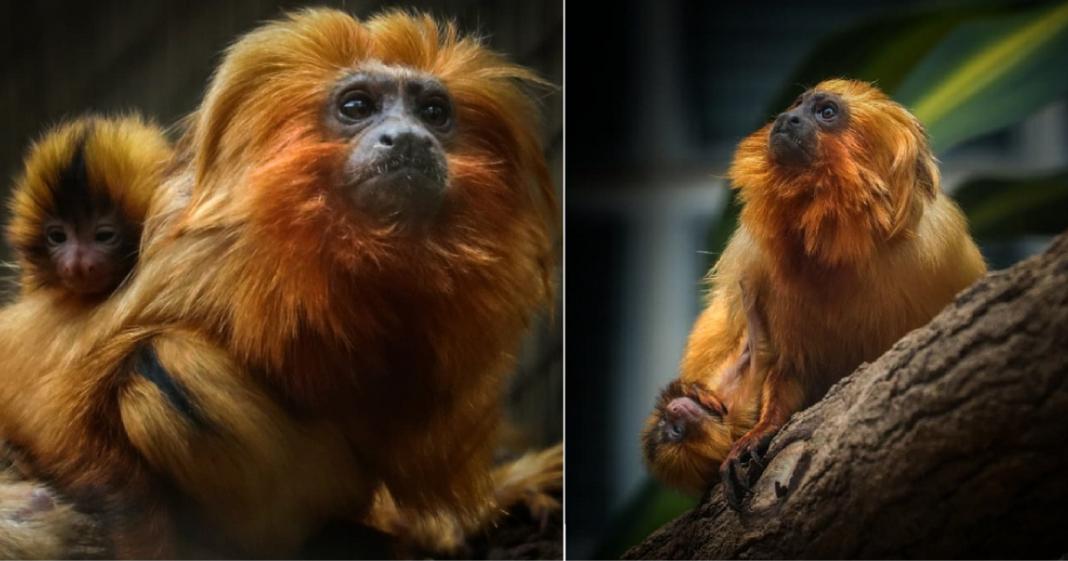 https://paisefilhos.uol.com.br/familia/boa-noticia-filhotes-gemeos-de-mico-leao-dourado-em-extincao-nascem-em-sao-paulo/