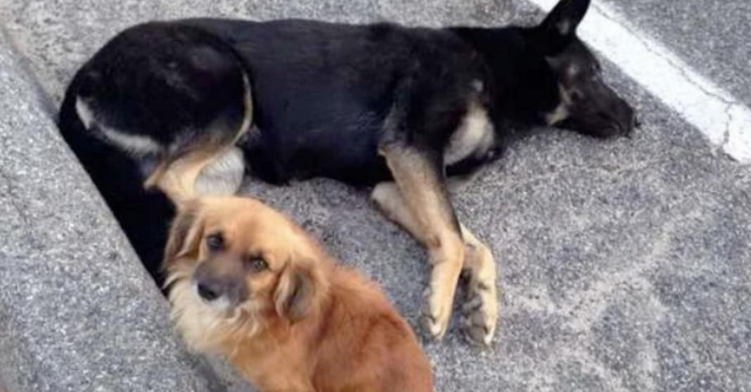 murphy cao heroi salva cadela gravida