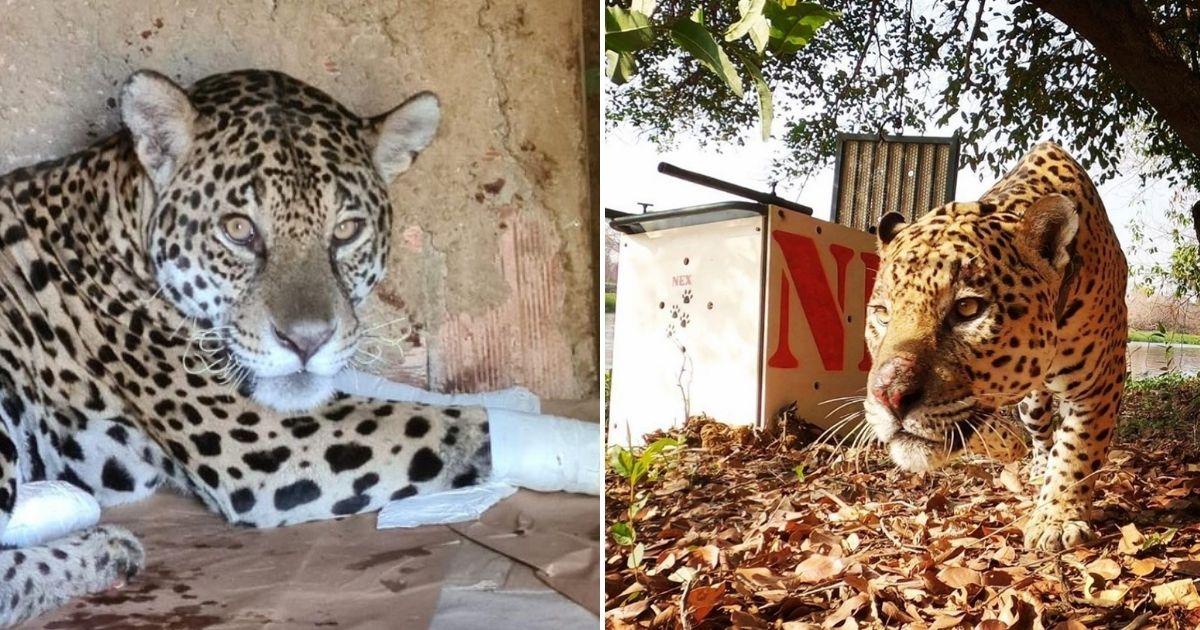 Após ser reintegrada à natureza, onça resgatada de queimada no Pantanal volta a caçar! 1