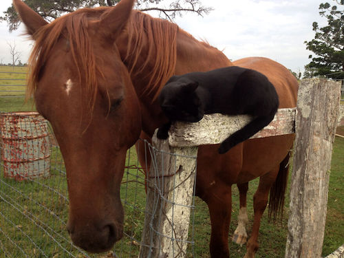 amizade gato e cavalo 10