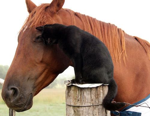 amizade gato e cavalo 6