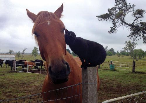 amizade gato e cavalo 7
