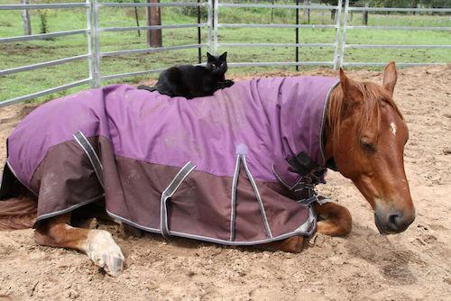 amizade gato e cavalo 8