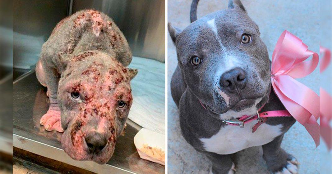Veja incríveis 'antes e depois' de 9 cães resgatados 3