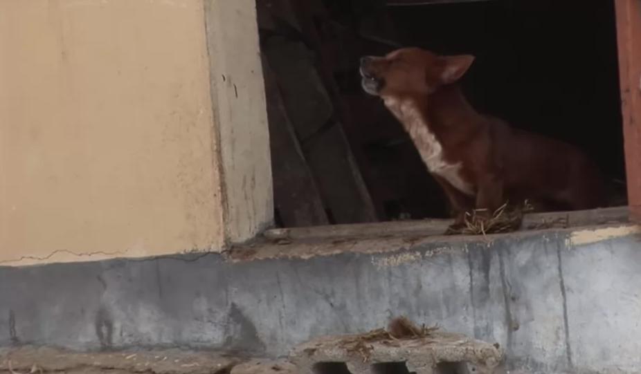 Cãozinho chora de alegria em reencontro com a vaca que o adotou como filho [VÍDEO] 4