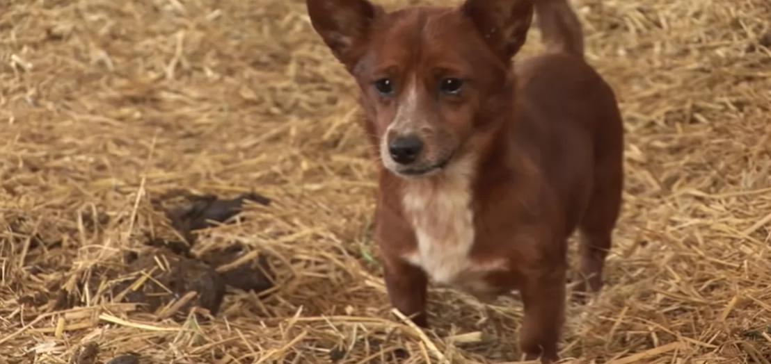 Cãozinho chora de alegria em reencontro com a vaca que o adotou como filho [VÍDEO] 5