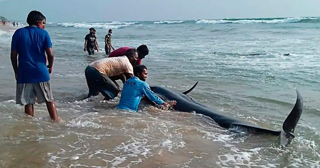 [VÍDEO] Grupos de resgate salvam mais de 100 baleias encalhadas em praia do Sri Lanka 1