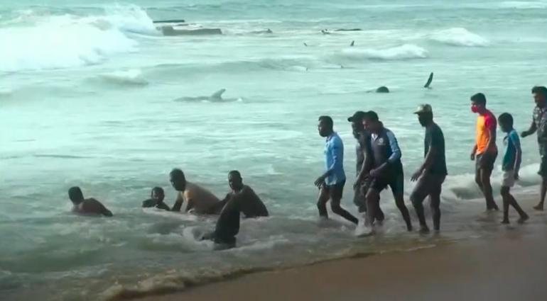 Voluntários empurrando baleias encalhadas de volta para o mar aberto