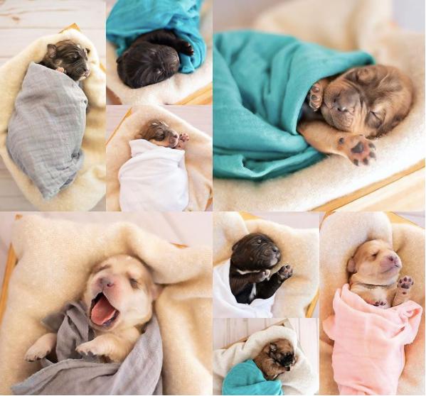 cachorra grávida faz ensaio fotográfico