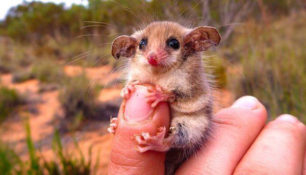 gambá pigmeu encontrado na Austrália